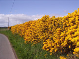 5 Gorse Hedging Bush,Prickly Furze Plants,Fragrant Yellow Whin Evergreen Hedge