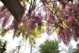 Wisteria 'Floribunda Rosea' / Pink Japanese Wisteria 2-3ft, Fragrant Flowers.