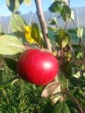 Katy Apple Tree  4-5ft, in a 5L Pot Ready to fruit. Sweet,Juicy Strawberry Taste