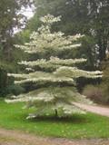 Wedding Cake Tree / Cornus controversa 'Variegata' 1-2ft Tall In a 2L Pot