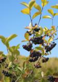 1 Aronia Melanocarpa Fruit Bush 2-3ft Tall, 2L Pot 'Superfood With Antioxidants'