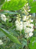 Clethra alnifolia 'Hummingbird' / Sweet Pepperbush 1-2ft Tall in 2L Pot