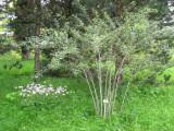 3 Rubus thibetanus 'Silver Fern' / Ghost Bramble Plants In 10cm Pots