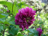 Rubus spectabilis 'Olympic Double' / Salmonberry 'Olympic Double' in 10cm Pot