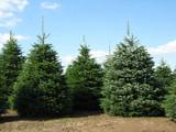 Nordmann Fir Christmas Tree 1ft In 5L Pot Britains Best No Needle Drop Nordman