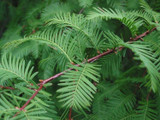 Metasequoia Glyptostroboides / Dawn Redwood, 2-3ft Tall In 9cm Pot