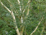 5 Silver Birch Jacquemontii 5-6ft Trees, 2L Pots, Himalyan White Birch, Betula