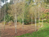 9 Silver Birch Jacquemontii 5-6ft Trees, 2L Pots, Himalyan White Birch, Betula