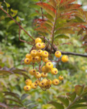 Rowan 'Joseph Rock' / Sorbus 'Joseph Rock' 4-5ft tall Stunning Colours