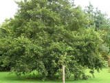 25 Common Alder Hedging,Alnus Glutinosa 3-4ft Trees,Great For Wildlife & Shade