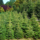 25 Nordmann Fir Christmas Trees 15-20cm.Britains Best No Needle Drop Nordman
