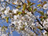 Prunus Avium 'Plena' 4-5ft Stunning White Double Blossom, Wild Ornamental Cherry