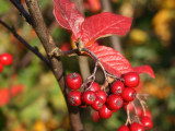 5 Hollyberry Cotoneaster 2-3ft,Big Red Berries For Songbirds Bullatus Hedging