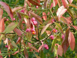 10 Spindle Hedging 2ft Tall, Euonymus Europaeus,Beautiful Pink Autumn Berries