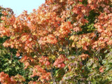 5 Sycamore Maple Trees,2-3 ft Acer Pseudoplatanus Hedge,Stunning Autumn Colour