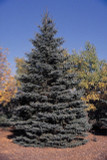 3 Blue Spruce Xmas Trees,Picea Pungens Glauca 20-40cm.Lovely Blue Pine Needles
