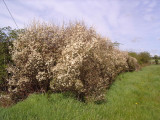 20 Blackthorn Hedging 2-3ft, Prunus Spinosa,Native Flowering Sloe Berry Hedge