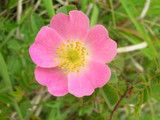 1 Sweet Briar Rose 60-100cm Rosa Rubiginosa Plants.Very Thorny Flower Barrier