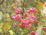 3 Spindle Hedging 2ft Tall, Euonymus Europaeus,Beautiful Pink Autumn Berries