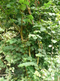 100 Hazel Plants,Flowering Edible Nut Hedge,2-3ft Wildlife Friendly Hedge60-90cm