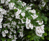 3 Deutzia x hybrida 'Strawberry Fields' 2-3ft, In a 2L Pots, Star-Shaped Flowers