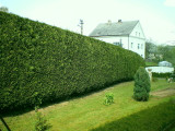 10 Green Leylandii 2-3ft Tall Hedging In Big 2L Pots, Evergreen Leyland Cypress