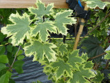 Maple 'Drummondii' / Acer Platanoides 'Drummondii' 4-5ft Tall, in a 5L Pot