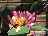 Honeysuckle Lonicera periclymenum 'Serotina' 1-2ft Tall in a 2L Pot