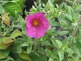 Cistus Pulverulentus 'Sunset' 20cm Tall in 2L Pot With lovely Rose-Pink Flowers