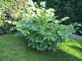 Hazel 'Kent Cob'Tree Corylus cobnut 4-5ft Multistemmed Strong Hazelnut Bush