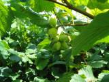 3 Hazel Plants,Flowering Edible Nut Hedge,2-3ft 1L Pot,Wildlife Friendly 60-90cm