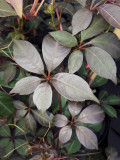 3 x Parthenocissus Henryana / Chinese Virginia Creeper 1-2ft Tall In a 2L Pot