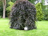 1 Weeping Purple Beech 2-3ft Tall In 2L Pot / Fagus syl Purpurea Pendula Trees