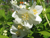 3 Philadelphus 'Lemoinei' Plants / Mock orange 'Lemoinei', 30-40cm in 2L Pots
