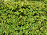 3 Hornbeam 2-3ft Hedging Plants,60-90cm Carpinus Betulus Trees.Winter Cover