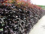 50 Copper Beech 2-3ft Purple Hedging Trees.Stunning all Year Colour 60-90cm