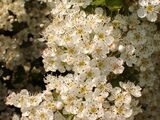 250 Hawthorn Hedging Plants 40-60cm,Wildlife Friendly 1-2ft Hawthorne Hedges