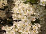 1000 Hawthorn Hedging Plants 40-60cm,Wildlife Friendly 1-2ft Hawthorne Hedges