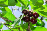 'Early Rivers' Cherry Tree 4-5ft ,Ready to Fruit,Large Dark Juicy Cherries