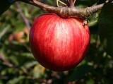 Red Devil Apple Tree 4-5ft,Self-Fertile, Sweet Strawberry Taste
