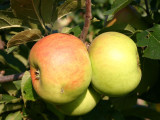 Blenheim Orange Apple Tree 4-6 ft,Nutty,Sweet & Crumbly, Ready to Fruit