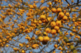 Crab Apple 'Golden Hornet' / Malus 'Golden Hornet' 4-5ft Tall