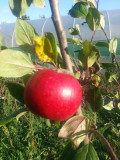 Katy Apple Tree  4-5ft, Ready to fruit. Sweet,Juicy Strawberry Taste