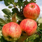Fiesta Apple Tree 4-5ft , Self-Fertile ,Sweet,Sharp & Juicy