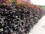 1 Copper Beech 2-3ft Purple Hedging Tree, Stunning all Year Colour 60-90cm