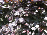 5 Copper Purple Beech Hedging 40-60cm Beautiful Strong 2yr Old Plants 1-2 Ft