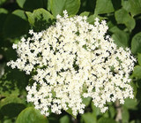 3 Elder Flower Hedge Plants 2-3ft,Make Elderberry Wine & Elderflower Lemonade