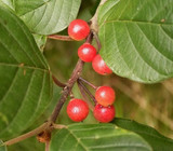 1 Alder Buckthorn / Rhamnus Frangula 2-3ft Strong Wildlife Hedging Plant