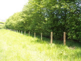 3 Italian Alder Hedging 3-4ft ,Alnus Cordata Trees.Very Quick Wind Break Hedge