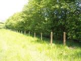 3 Italian Alder Hedging 3-4ft ,Alnus Cordata Trees.Very Quick Wind Break Hedge